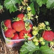 """""""Polka"""" maasikas"""