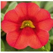 Puispetuunia `Calita Deep Red`
