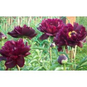 Pojeng Lactiflora `Peter Brand`