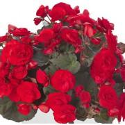 Roosbegoonia `Solenia Red`