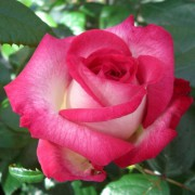 Suureõieline roos`Pascale`
