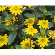 Sanvitaalia `Yellow`
