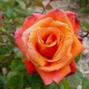 Suureõieline roos`Royal Dane`