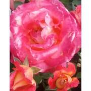 Suureõieline roos`Condessa de Sastago`