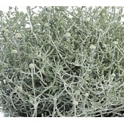 Padipõõsas `Silver Bush`