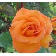 Suureõieline roos`Ashram`