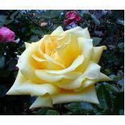 Suureõieline roos`Yellow Queen`