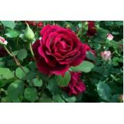 Suureõieline roos`Crimson Glory`