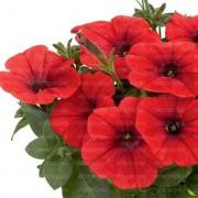 Petuunia `Potunia Plus Red`