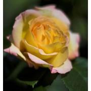 Suureõieline roos`Gloria Dei`